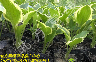 北京野牛草基地提醒養護管理注意這三點