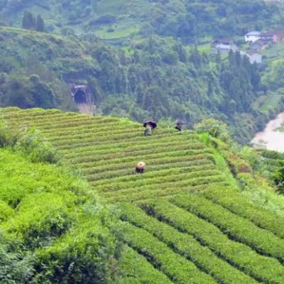 珍稀的乌龙茶——白牙奇兰